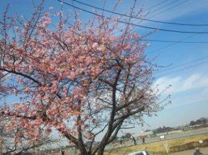 手賀沼河津桜