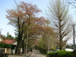 柏・桜散る