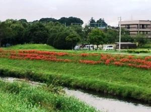 大堀川の彼岸花
