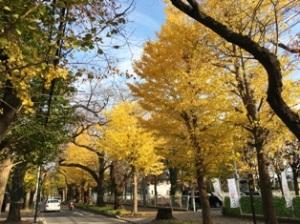 柏公園銀杏並木