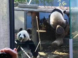 上野のパンダ親子